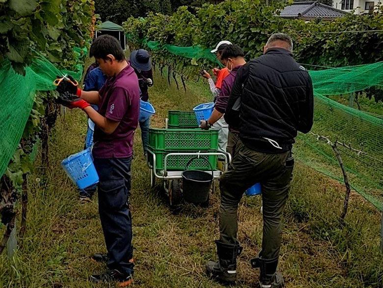 ワイナリーでブドウ収穫のお手伝いをしました