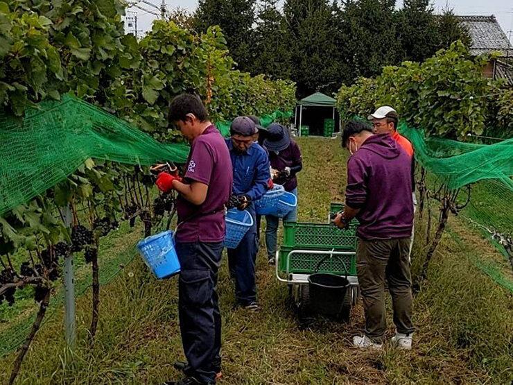 ワイナリーでブドウ収穫のお手伝いをしました02